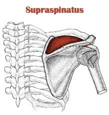superspinatus