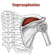 superspinatus