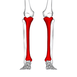 Tibia_-_frontal_view2