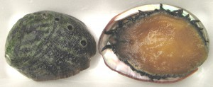 abalone facts - white abalone