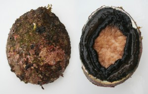 abalone facts - black-lipped