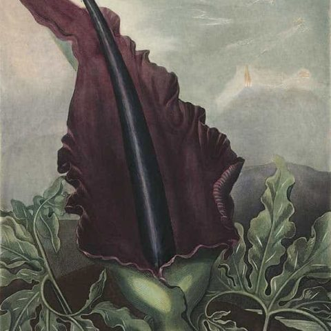 Peter Henderson, Dragon Arum, 1801, Etching, Aquatint, Mezzotint