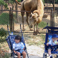 How close can we get our kids to the camel before he takes a bite out of one?