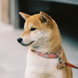 HC Shiba Dogs