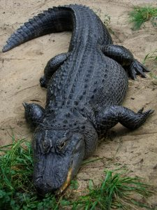 Alligator Shot by Concealed Carry Handgun