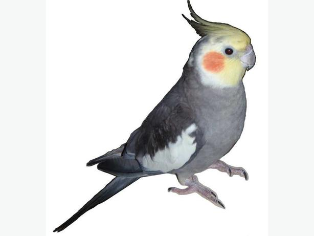 LOST cockatiel (normal grey) - Reward $300
