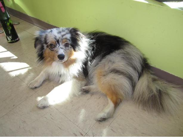 *** MISSING/STOLEN *** MINI AUSTRALIAN SHEPHERD