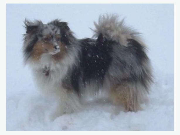 $5,000 REWARD - MISSING/STOLEN MINI AUSTRALIAN SHEPHERD