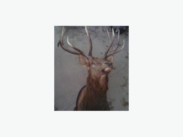 Mounted Elk Head