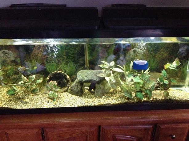 Newer 50 gal tank and fish north nanaimo nanaimo for Cheap big fish tanks