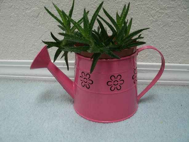 Best Offer Succulant Cactus In Decorative Watering Can