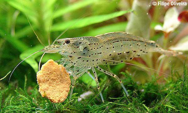 Amano algae eatting shrimp ie hair algae 2 left central for Best white fish to eat