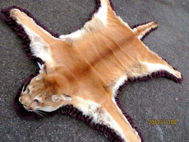 Authentic Canadian Cougar Puma Rug Central Ottawa Inside Greenbelt Ottawa