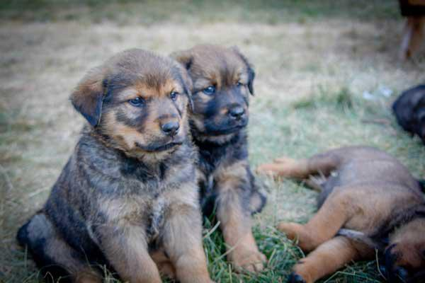 Rhodesian Ridgeback Puppies Vancouver Island
