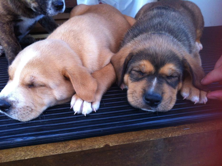Pitbull Puppies For Sale Vancouver Island