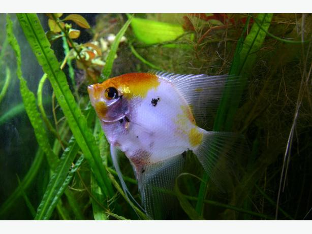 Wanted angelfish and corydas or any fish compatible with angelfish saanich victoria for Fish compatible with angelfish