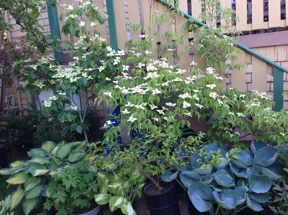 Landscaping Trees Regina : Beautiful mature specialty landscape plants in pots victoria city