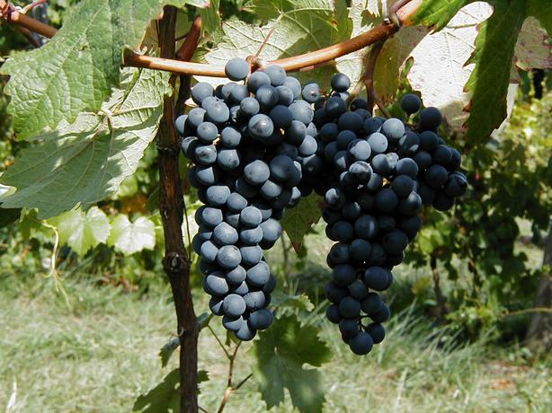 GRAPES, CORONATION TABLE GRAPES - Closed for the Holiday