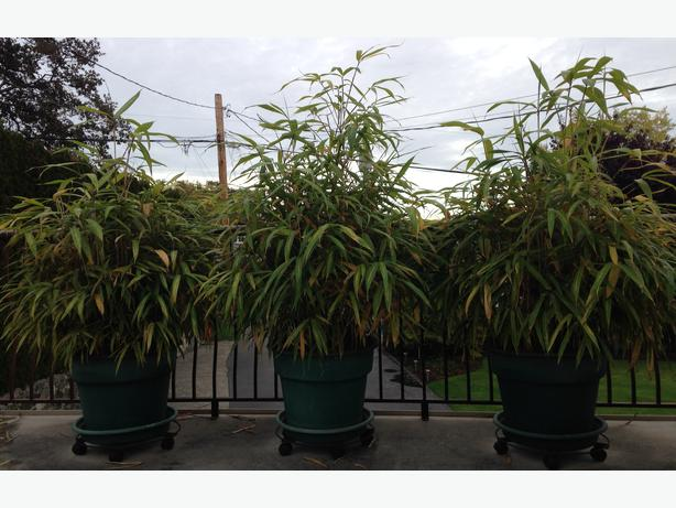 Free bamboo outdoor plants esquimalt view royal victoria for No maintenance outdoor plants