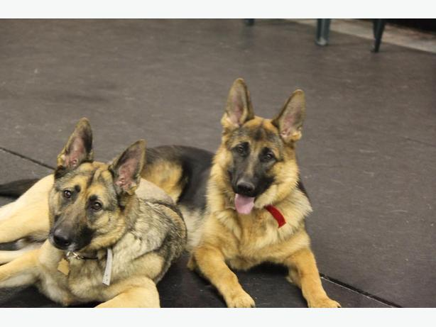 Dog Trainer - Animal Dog Behaviorist - K9 Handler