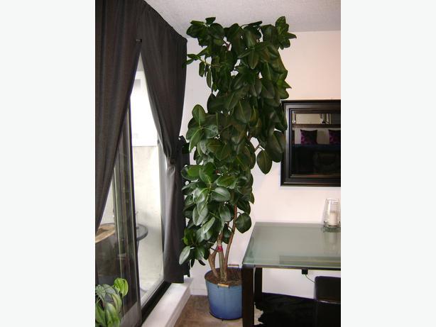 8 9 39 real ficus elastica robusta rubber plant central ottawa inside greenbelt ottawa. Black Bedroom Furniture Sets. Home Design Ideas