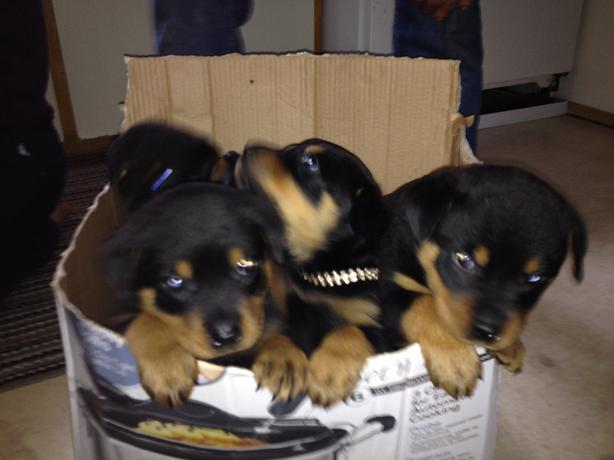 Free Dogs To Good Homes In Brampton Or Mississauga