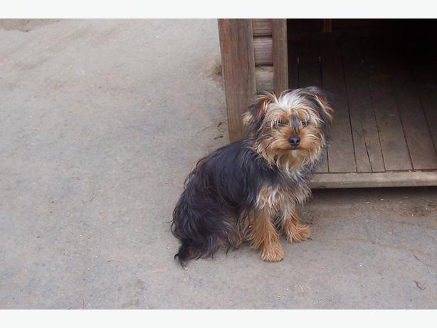 YORKSHIRE TERRIERS Cou...