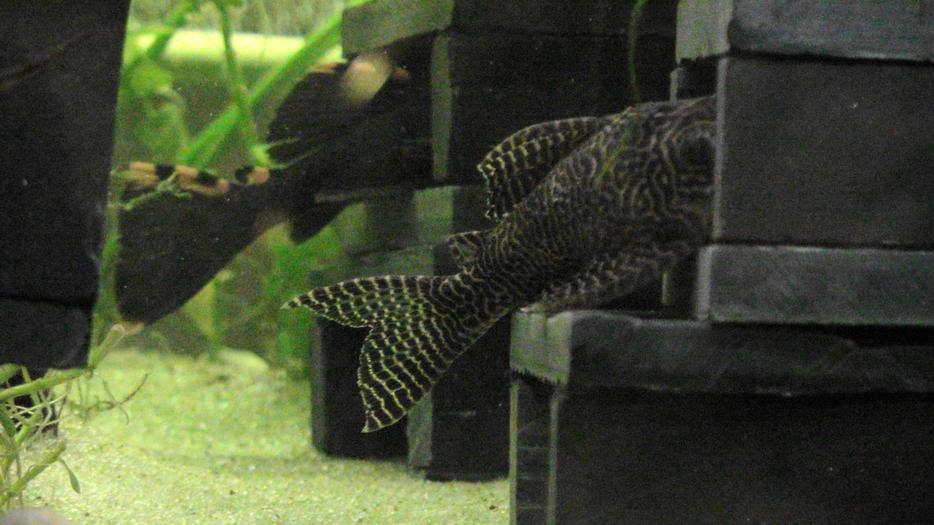 Aquarium pond fish stone breeding hiding caves saanich for Koi pond kelowna