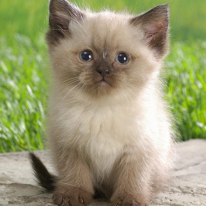 cute fluffy siamese kittens - photo #10