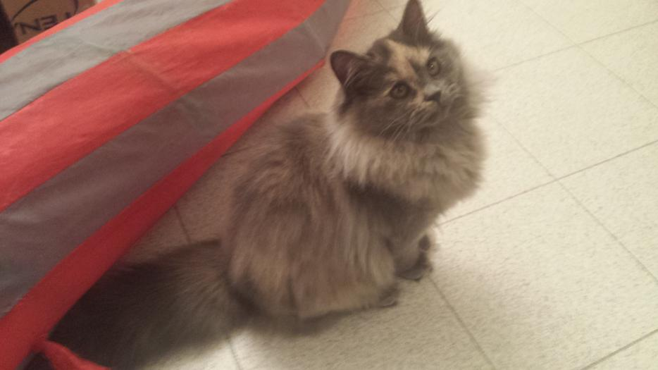 Mainecoon Persian Female Indoor Kittens For Sale North Saanich ...