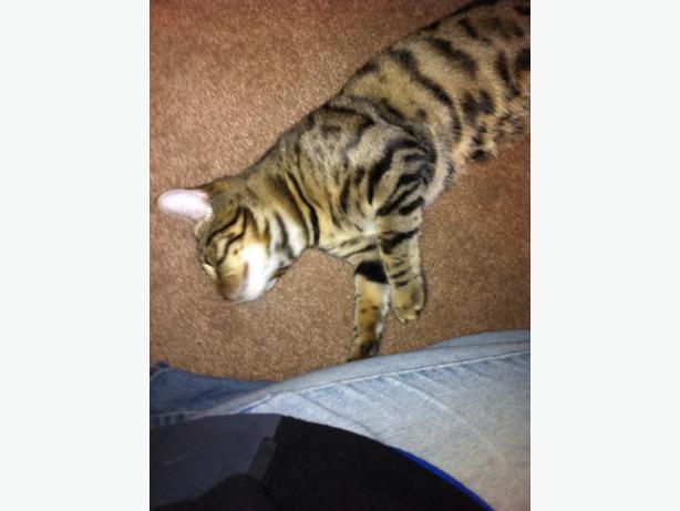 Savanah Cat For Free In Kittchener Cambridge Waterloo