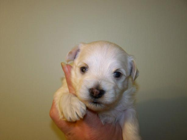 Havanese Puppies For Sale In Kitchener