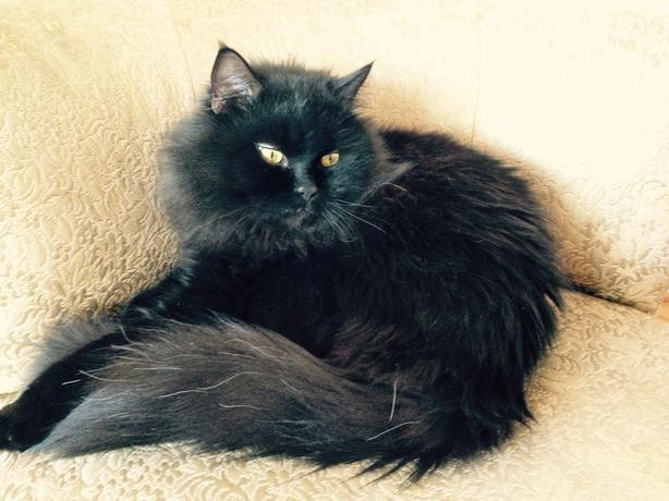 Black persian cat toronto