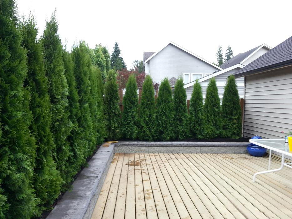 Emerald Cedar Hedges For Sale We Deliver And Install
