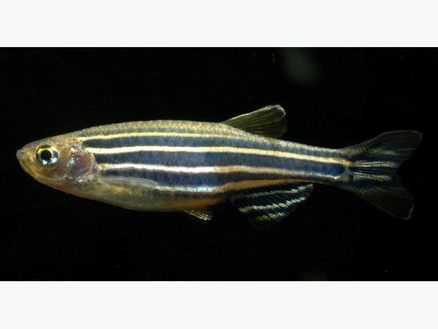 Freshwater school of 11 zebra danio fish saanich victoria for Freshwater schooling fish