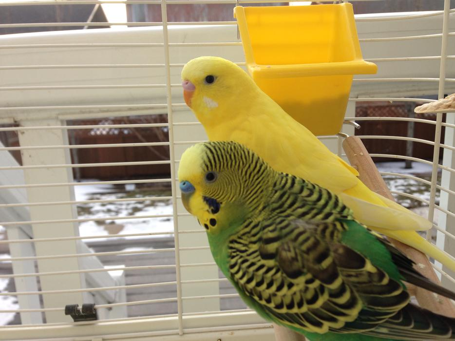 Budgies For Sale Vancouver Island