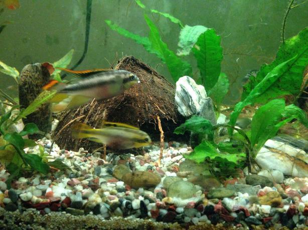 Convict Fish For Sale For Sale Convict Cichlids