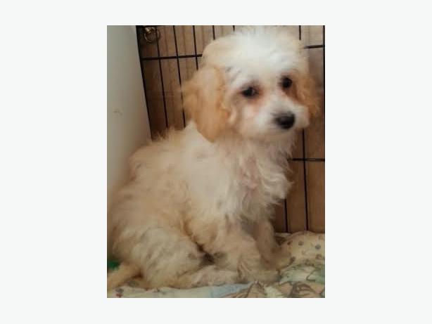 Maltese poodle ottawa