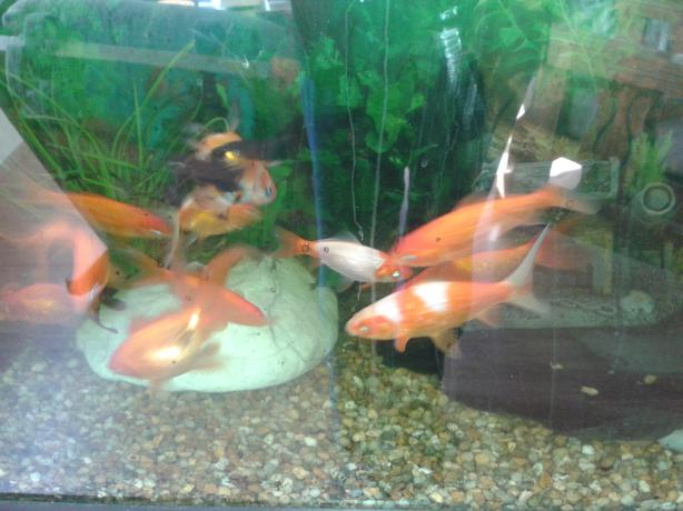 Pond fish for sale youbou cowichan for Large fish ponds for sale