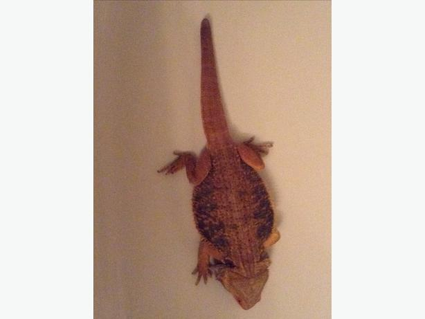 bearded dragon terrarium heat lamp and more for sale. Black Bedroom Furniture Sets. Home Design Ideas