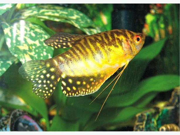 Golden Gouramis Central Saanich Victoria