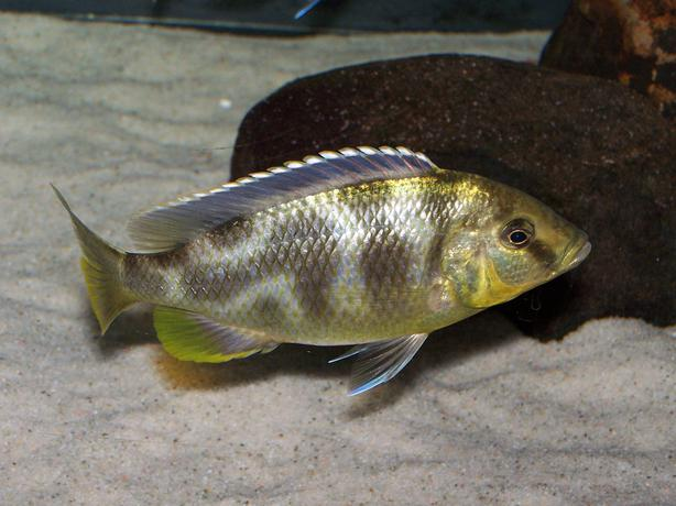 African cichlids for sale Campbell River, Courtenay Comox