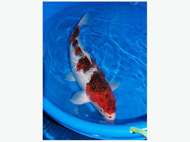 Beautiful nishikigoi koi fish spring sale richmond for Local koi fish for sale