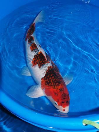 Beautiful nishikigoi koi fish spring sale richmond for Koi for sale houston