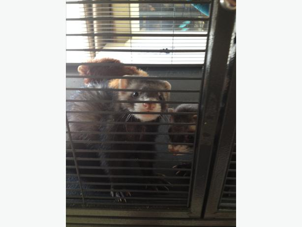 Ferrets For Sale Kitchener