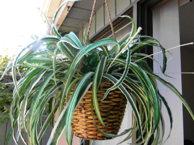 large silk spider plant victoria city victoria mobile. Black Bedroom Furniture Sets. Home Design Ideas