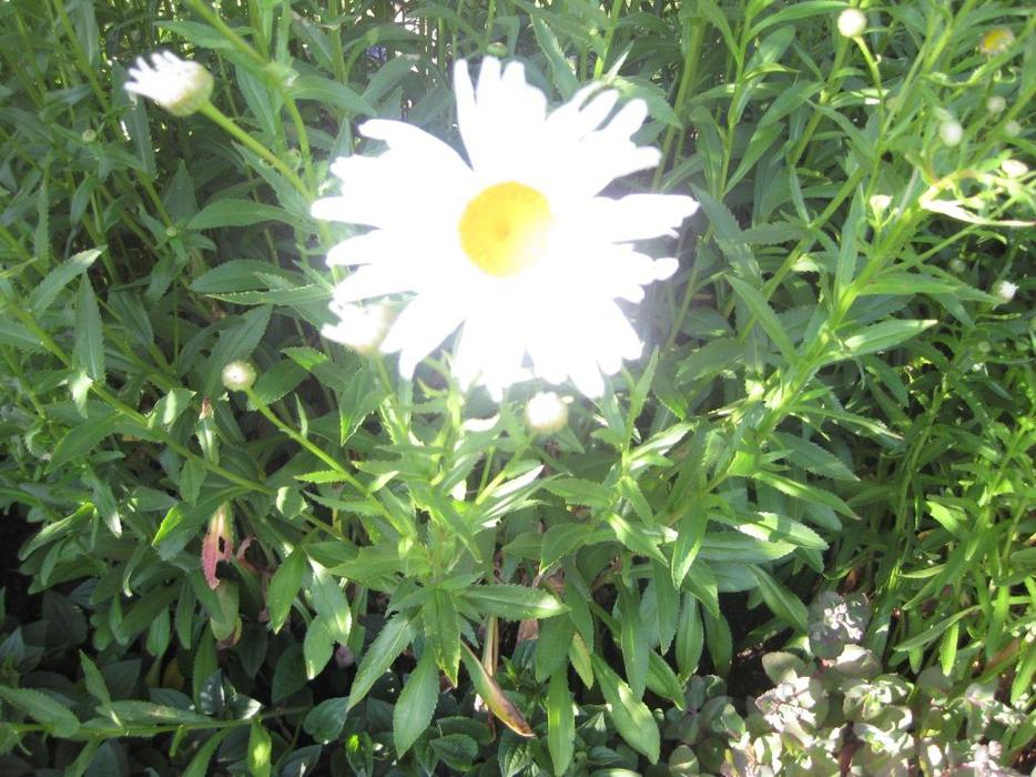Perennial plants for sale saanich victoria for Plants for sale