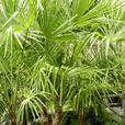 B.C. grown Windmill Palms