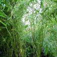 15 gallonsize Arrow Bamboo