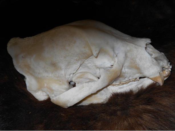 bleached animal skull